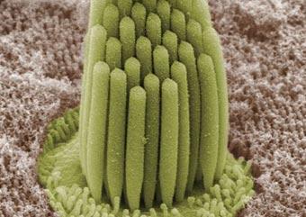Frog ear cilia